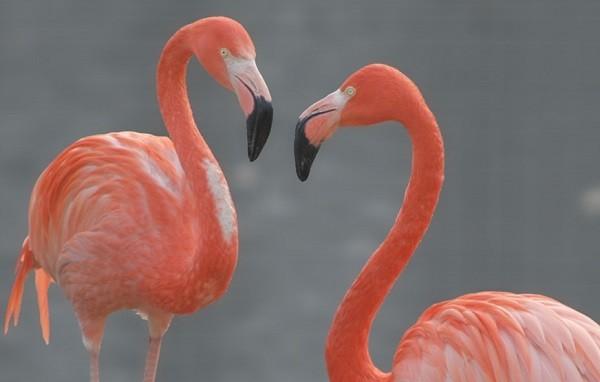 фламинго красная книга россии