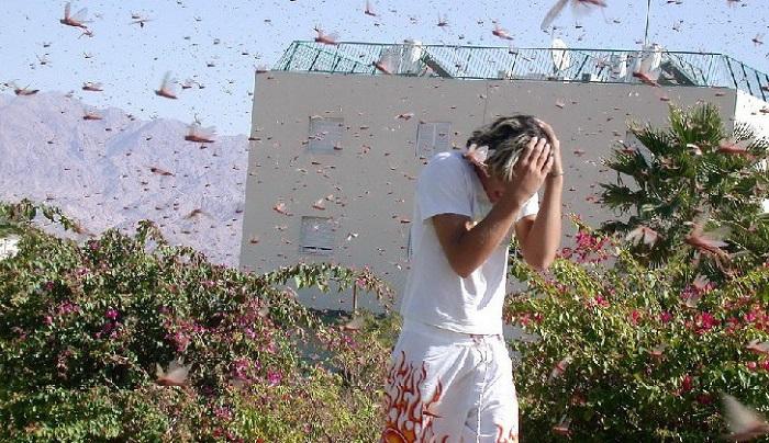Полчища саранчи в Ставрополье уничтожает урожай