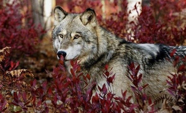 В КБР появились бешенные волки и собаки
