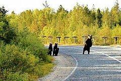 Жителей Магадана пугают голодные медведи
