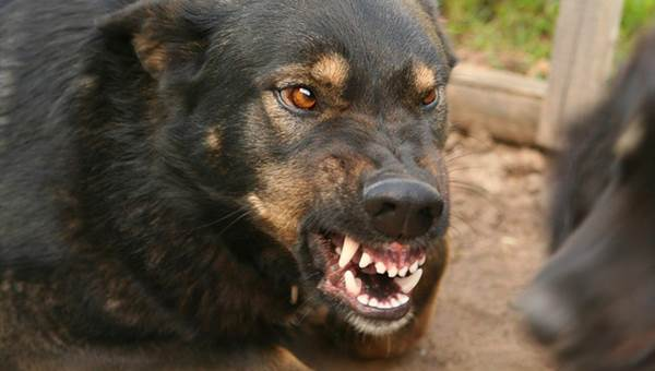Бродячие собаки насмерть загрызли ребенка в пригороде Махачкалы