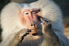 Бунт бабуинов в Техасе