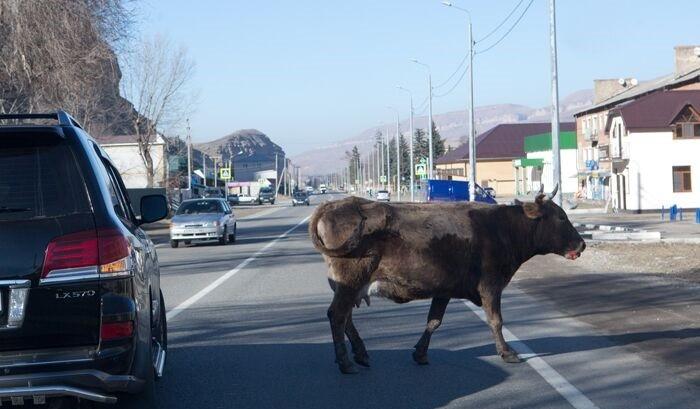 Бродячих коров Махачкалы эвакуируют на штрафстоянки фото 2