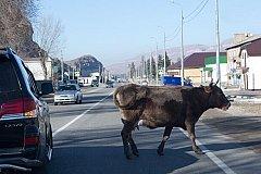 Бродячих коров Махачкалы эвакуируют на штрафстоянки