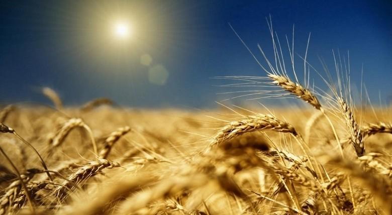 Экспорт пшеницы из России вырос. фото 2