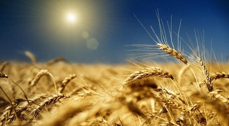 Экспорт пшеницы из России вырос.
