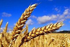 Экспортная пошлина на российскую пшеницу будет повышена