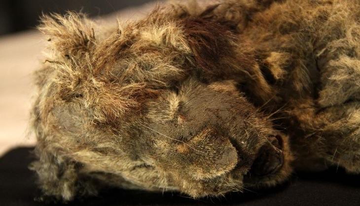 Якутские львята из ледникового периода