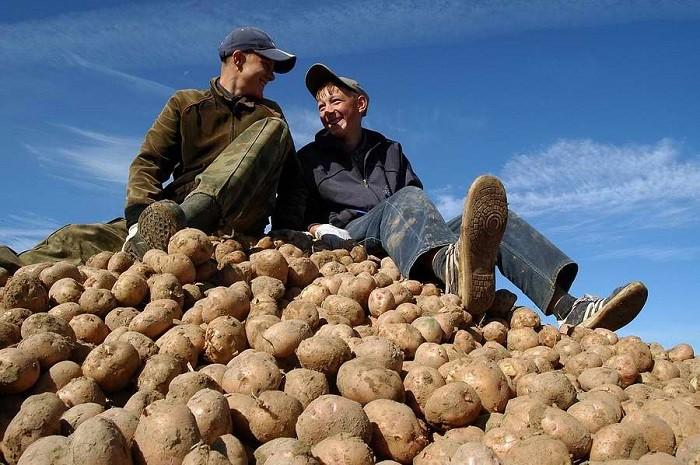 Северная Осетия ударно собирает картофель фото 2