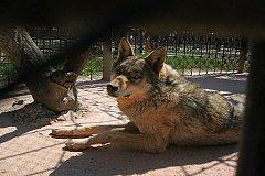 В зоопарке Барнаула волк поранил ребенка. Заведено уголовное дело